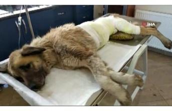 Beykoz'da Köpeğin Üzerine Kimyasal Madde Döktüler