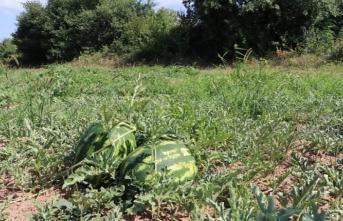 Beykoz'da karpuz hasatı başladı