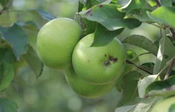 Beykoz Elması'nda Yüzler Gülüyor