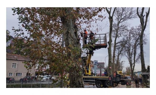 Beykoz'un anıt ağaçları eski sağlığına kavuşuyor