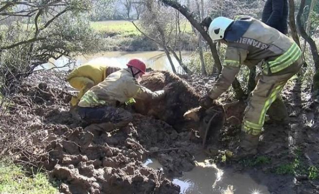 Beykoz'da çamura saplanan ineği itfaiye ekipleri kurtardı