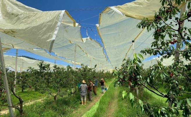 Beykoz'a bereket getiren hasatın ilk mahsülleri toplandı