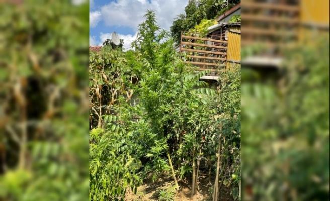Beykoz'da Evin Bahçesinde 26 Kök Hint Keneviri Ele Geçirildi