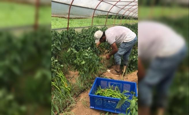 Beykozlu Çiftçinin Mahsulü Tarlada Kazandırıyor