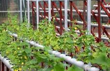 Beykoz'da Çilekten Salatalığa Topraksız Tarım Başladı