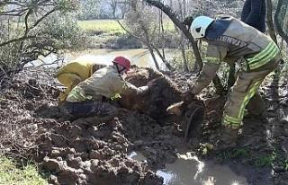 Beykoz'da çamura saplanan ineği itfaiye ekipleri...