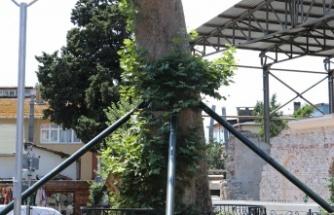 Anadolukavağı'nın Sessiz Şahidi Midilli Ali Reis Çınarı Yeşerdi