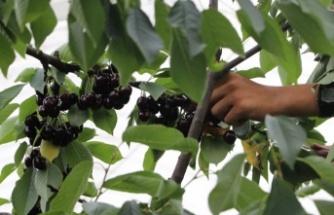 Beykoz'da kiraz hasatı